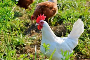 Detailed Plan For Biosecurity And Health On Poultry Farm