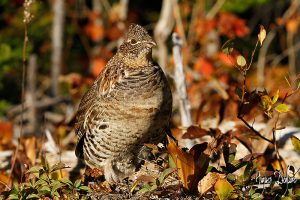 Ruffed Grouse Shooting - Tips From A Professional Hunter
